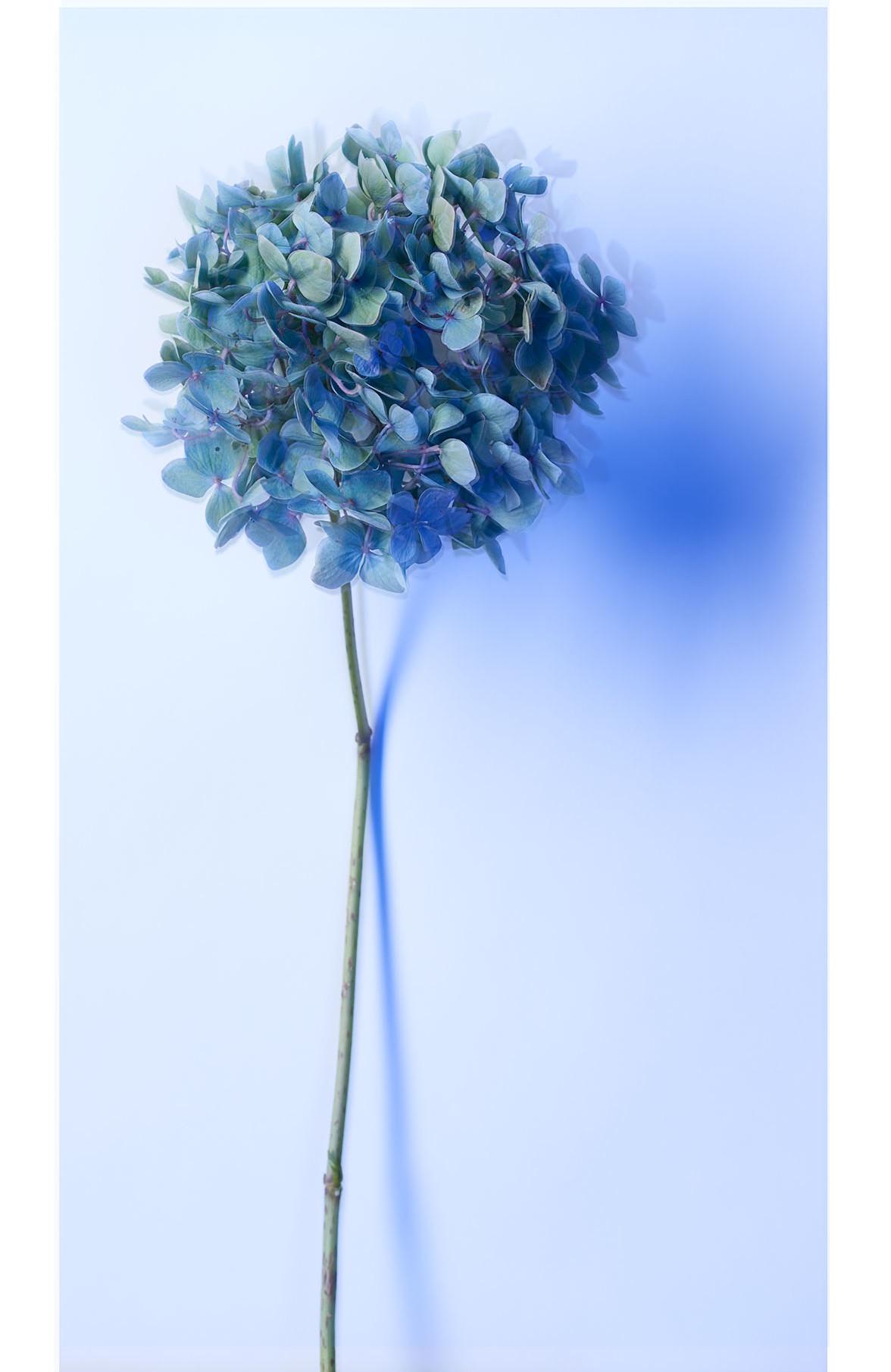 Hydrangea Flower - août 2016